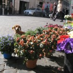 Dog with Flowers at Campo de' Fiori in Rome